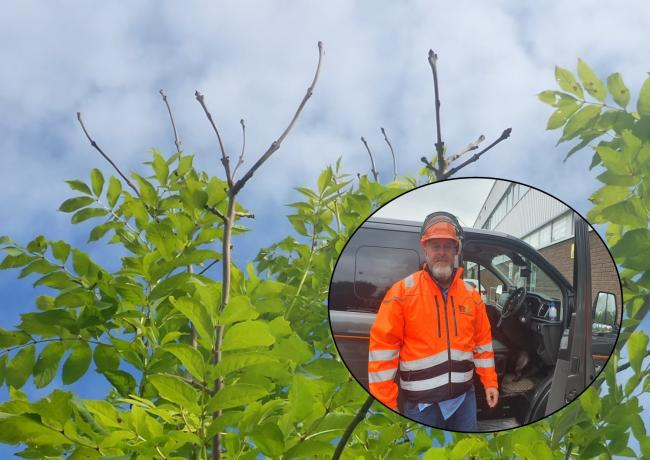 Ash trees with the disease ash dieback could become a public health risk very soon says tree surgeon Jeff Birch (inset).
