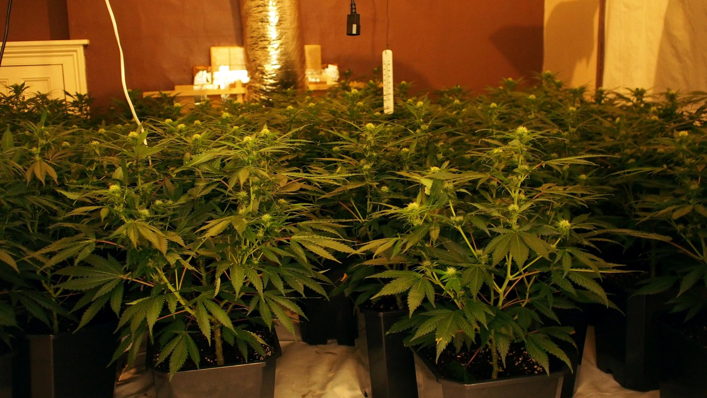 Man arrested after Pembroke Dock cannabis factories found