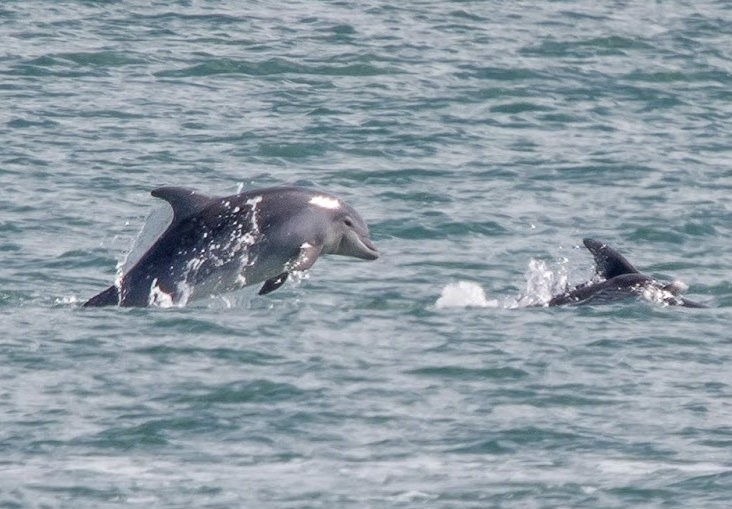 Sea Trust is reminding boat owners to steer clear of Fishguard Harbour's visiting dolphins after two incidents last week. PIC: Ken Barnett/ Sea Trust.