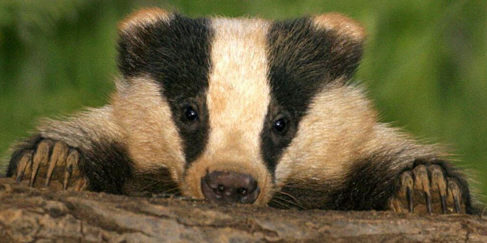 Conflicting views on badgers and their cull